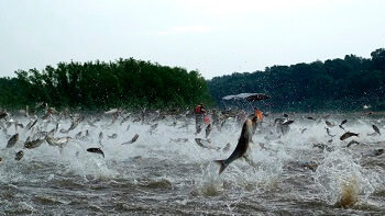 """Riverine Fisheries LLC - решение проблемы """"Азиатского карпа"""" на государственном уровне"""